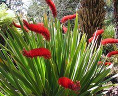 Xeronema callistemon - Very rare Poor Knights Lily Garden Ideas Nz, Garden Inspiration, Tropical Garden, Tropical Plants, Orange Flowering Plants, Pool Plants, Tropical Landscaping, Landscaping Plants, Unusual Plants