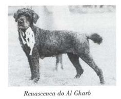 Renascença do Al-Gharb (exported in 1968) dam to one of the first Portuguese Water Dog litters born in the United States.