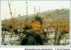Harvesting Ice-Wine