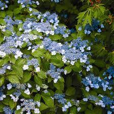 """hydrangea serrate """"Blue Billow"""" with it leaves"""