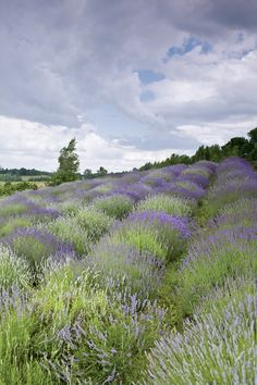Lavender field and a beautiful sky