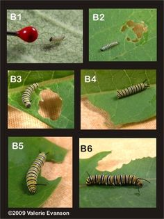 Monarch caterpillar instar stages.