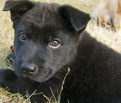Akita mix puppies can come in many different colors and sizes. Check out some different pictures of the akita mix puppy and learn about the breed. Akita Inu Puppy, Akita Puppies, Puppies And Kitties, Lab Mix Puppies, Puppy Mix, Baby Puppies, Border Collie Puppies, Border Collie Mix, Puppy Pictures