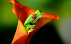 15 best frog wallpaper images frog wallpaper funny frogs green frog