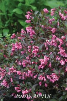 Shrub Reaches 2 to 4 ft. tall, up to 3 ft. wide. Fine Wine® Weigela