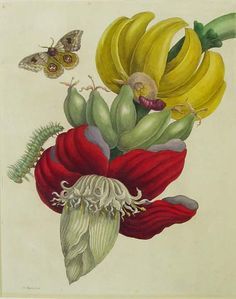 Just like the colour of Rope Burn.: Maria Sibylla Merian.