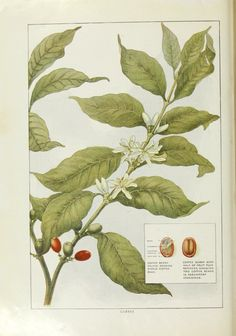 Botanical print of coffee bean flower blossoms, berries, plant