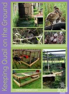 The vision I wanted was for my quail to roam on the ground in the grass hunting for bugs, much like they would do if they were living in the wild. Raising Quail, Raising Farm Animals, Raising Chickens, Quail Pen, Quail Coop, Quail Eggs, Backyard Farming, Chickens Backyard, Backyard Patio