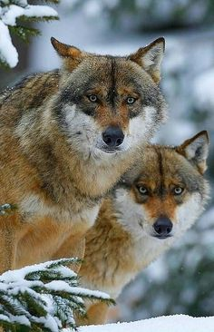 Pair Tattoos, Wolf Love, World Photo, Wild Dogs, Family Activities, Great Photos, National Geographic, Animals Beautiful, Pet Birds