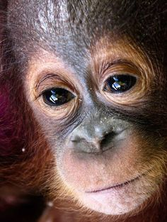 'There was a glimmer of light in his sad dark eyes': Dying baby orangutan snatched from his mother in the Borneo rainforest and kept alone in a dark cage is rescued Borneo Orangutan, Baby Orangutan, Cute Baby Animals, Animals And Pets, Funny Animals, Wild Animals, Beautiful Creatures, Animals Beautiful, Borneo Rainforest
