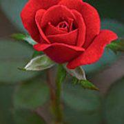 The Perfect Rose Art Print