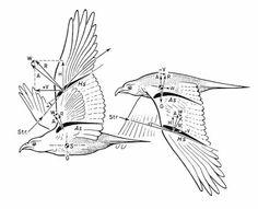 Biophysics of bird flght-Drawing reference Eagle Wings, Mixed Media Sculpture, Natural History, Bird Feathers, Drawing Reference, Blue Bird, Birds In Flight, Moose Art, My Arts