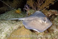 baby southern stingray - Google Search