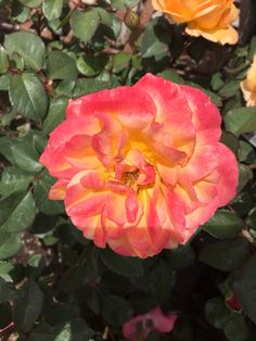 Rose, I think?