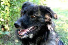 Pippo, appena un anno e mezzo, e' un Australian Shepherd mix... ubbidiente.. cane fantastico. Cerca casa! / Pippo, Australian shepherd mix, is a great dog! ADOPTED!