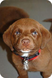 Adopt a Pet :: Peter Pan - Smyrna, GA - Labrador Retriever Mix