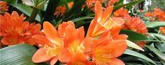 CLÍVIA - A clívia é uma das plantas mais amigas do jardineiro iniciante: floresce muito, exige poucos cuidados e dá alguns alertas bem visíveis quando algo não vai bem. Nativa da África do Sul, ela se adaptou de tal forma ao clima brasileiro que, hoje, está presente por aqui em muitos parques e praças púb... - http://www.ecologicfertilizer.com/ecoblog/2015/01/05/clivia/