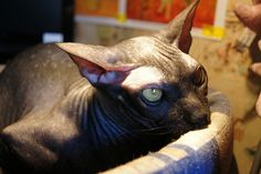 #Sphynx #Kittens for sale in any US state