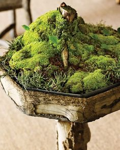An absolutely cute moss garden growing in a birdbath, fit with a planting tray and a decaying tree stump.
