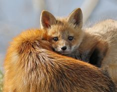 I Love You Mom - I was at one of my favorite birding locations when a fox walked past me and stopped about 50 feet from me overlooking a gully. A few minutes later 3 baby foxes (kit, cub, pup) appeared. This one snuggled up to mom (after being fed). Cute Baby Animals, Animals And Pets, Funny Animals, Wild Animals, Beautiful Creatures, Animals Beautiful, Fuchs Baby, Fantastic Fox, Fabulous Fox
