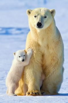 Call your senators! to the Arctic Wildlife Refuge oil well ! Nature Animals, Animals And Pets, Baby Animals, Funny Animals, Cute Animals, Wild Animals Pictures, Cute Animal Pictures, Cute Polar Bear, Polar Bears