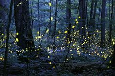 """""""Synchronous Fireflies I took this photo of fireflies (lightning bugs) in almost complete darkness using the latest low-light camera technology. I was completely surrounded by the fireflies and witnessed one of the most amazing and magical natural phenomena: fireflies that synchronize. """""""