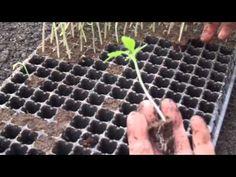 Rasad tomate, ardei Matca - YouTube