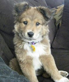 German Sheperd / Border Collie