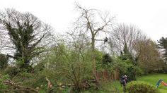 Timelapse of ash tree being felled at Catmint Cottage