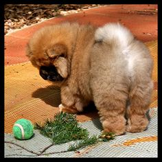 ok first man to show up at my door with a baby chow chow will have me forever.