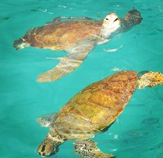 Turtles popping up for air!
