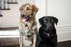 maeby and leo | lab mix, bernese and golden mix #neenbeanphotography