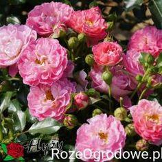29bcb46587cf63 Najlepsze obrazy na tablicy Rośliny do kupienia - Florexpol (22) w ...