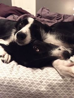 Cute Dogs Breeds, Cute Dogs And Puppies, I Love Dogs, Pet Dogs, Dog Cat, Doggies, Boarder Collie Puppy, Border Collies, Animals Beautiful
