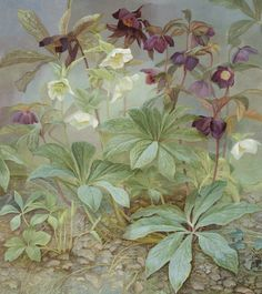 Jane Wormell Hellebores Oil on linen 34.25 x 30.31ins (87 x 77cm) £ 3,800.00