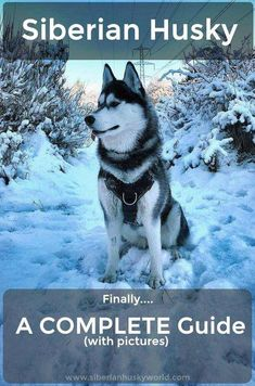 Everything you need to know about the Siberian Husky in one place including plenty of beautiful photographs. Everything you need to know about the Siberian Husky in one place including plenty of beautiful photographs. White Siberian Husky Puppy, Siberian Husky Training, Siberian Husky Facts, My Husky, Siberian Huskies, Husky Pups, Husky Humor, Funny Husky, Husky Grooming