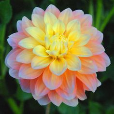 "Peaches and Dreams, from Swan Island Dahlias, 5"" beautiful peach flower that blends to a soft yellow in the centre."