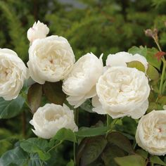 William and Catherine - Very beautiful, shallowly cupped flowers of pure white. Strong, pure myrrh fragrance. Very good repeat-flowering. Attractive bushy growth. Extremely healthy.