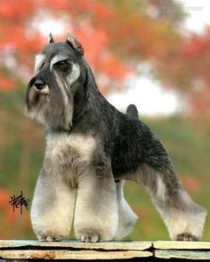 Ranked as one of the most popular dog breeds in the world, the Miniature Schnauzer is a cute little square faced furry coat. Schnauzer Grooming, Schnauzer Breed, Standard Schnauzer, Miniature Schnauzer Puppies, Giant Schnauzer, Cat Grooming, Silly Dogs, Cute Dogs, Schnauzers