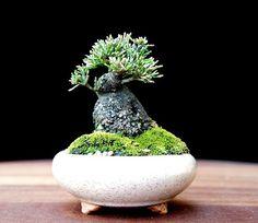New Zealand Tea Tree Bonsai. Could it be any cuter?