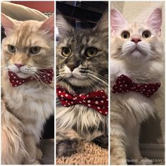 Who wore it better?! Amazing bow tie is from @furryboy.leo Link in his bio! #Daveinspeare #furryandfancy #DaVinciTheMaineCoon #EinsteinTheMaineCoon #ShakespeareTheMaineCoon #mainecoon #mainecoon_id  #animalsco #instacat_meows #cats_of_world #cat_features #catsofinstagram #bestcats_oftheworld #cutepetclub #petsofinstagram #CatsofDallas #igTxCats #BestMeow #meowvswoof #mainecoon_feature #igAnimal_snaps #topcatphoto #excellent_cats #catsofgram  #todaypets  #teamfancykitty #catsofcatster #pin