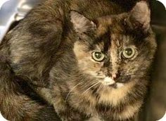 Westampton, NJ - Domestic Shorthair. Meet C-63879 Libby, a cat for adoption. http://www.adoptapet.com/pet/13249704-westampton-new-jersey-cat