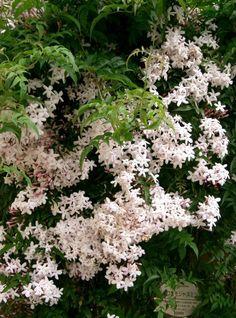 Душистый жасмин. Даже при произнесении самого названия этого цветка уже чувствуется его тонкий аромат! А Вы хотите вырастить жасмин в домашних условиях? Тогда давайте разберемся, как это сделать! Фото: © KENPEI