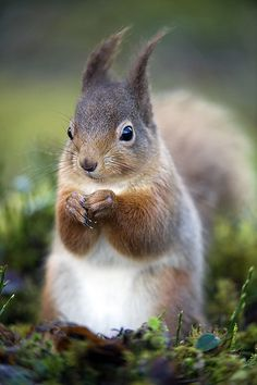 Squirrel in Aviemore, Scotland