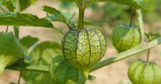 Camapu: a planta que ajuda na recuperação de Alzheimer e Parkinson - greenMe.com.br