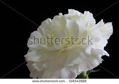 a white carnation