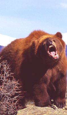 1c7f4c7cf4e angry bear...yogi really wants that picinic basket lol - with that attitude