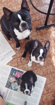 Small, Medium, Large Boston Terriers.    Even in a row wow double bubble.                 Or should I say triple