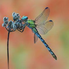 dragonfly by ivo pandoli