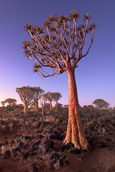 Quiver Trees in the Rocky Desert at Dusk, Keetmanshoop, Namibia Pictures To Draw, Cool Pictures, Cool Photos, Namibia, Desert Dream, Cactus, Quiver, Planet Earth, Beautiful Landscapes